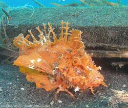 BD-080331-Lembeh-3312565-Rhinopias-frondosa-(Günther.-1892)-[Weedy-scorpionfish].jpg